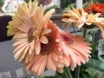 Blumenstecker Zauberhafter Schmetterling(4)